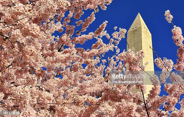 FILE Cherry blossoms are out in Washington seen against the Washington Monument rises behind a profusion of blossoms on the monument grounds in...