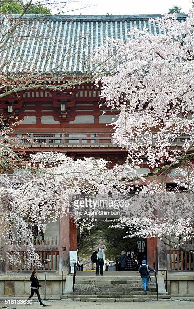 Cherry blossoms are seen at Daigoji Temple on March 30 2016 in Kyoto Japan