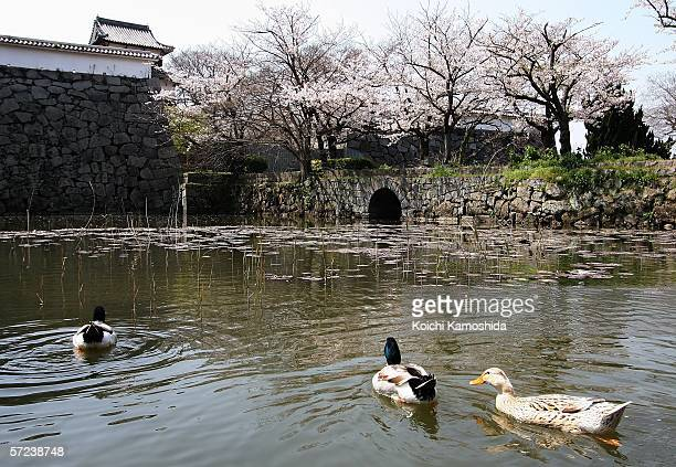 Cherry blossoms are seen in full bloom at the ruins of Fukuoka Castle on April 3 2006 in Fukuoka Japan The bloom of the cherry blossoms came 7 days...