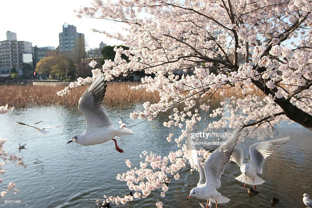 Cherry Blossoms Bloom In Tokyo : News Photo