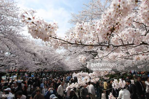 Cherry blossoms are seen in full bloom at Ueno park on March 29 2008 in Tokyo Japan The blooms arrived seven days earlier than the average year in...
