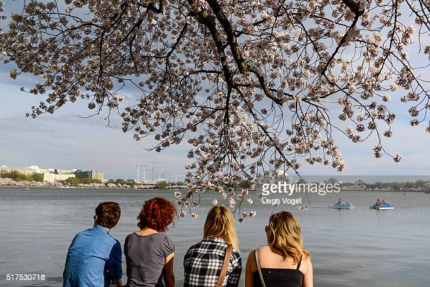 Cherry blossoms are seen in full bloom on the Tidal Basin on March 25 2016 in Washington DC