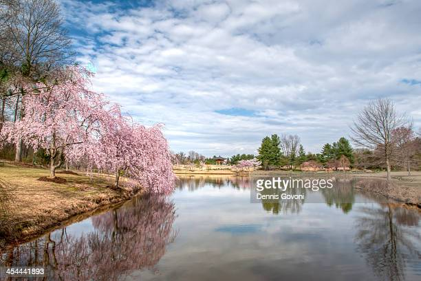 cherry blossoms at meadowlark - fairfax county virginia stock photos and pictures