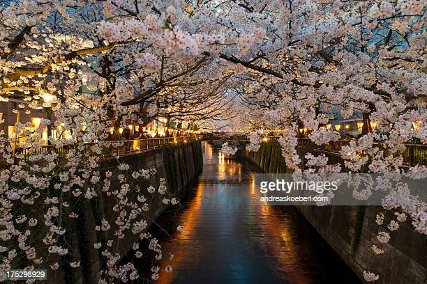Cherry Blossoms at Meguro River in Tokyo at night