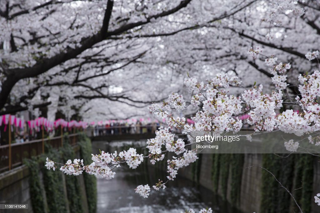 Cherry Blossom Viewing Grows Global Appeal : News Photo