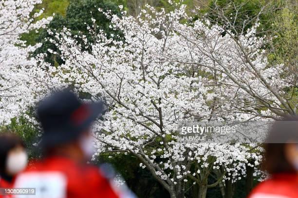 Cherry blossoms bloom near the stadium prior to the J.League Meiji Yasuda J3 match between Roasso Kumamoto and Kagoshima United at Egao Kenko Stadium...