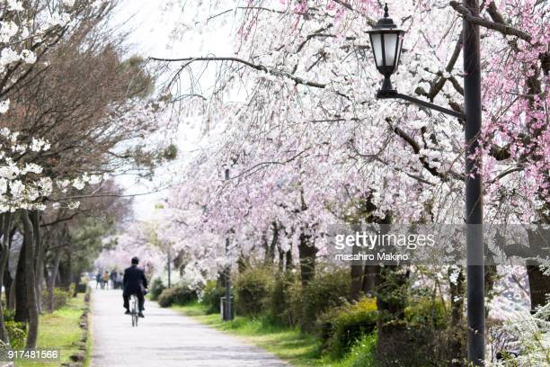 Cherry Blossoms blooming along the pedestrian walkway
