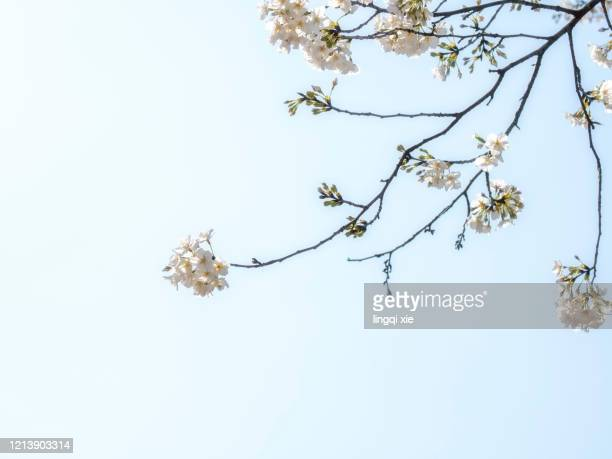 cherry blossoms blooming in the blue sky - branch stock pictures, royalty-free photos & images