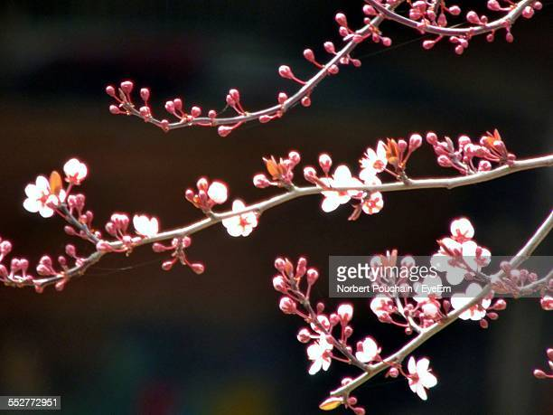 Cherry Blossoms Blooming On Tree At Night