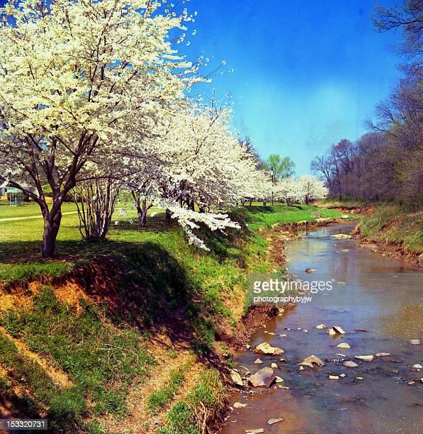 cherry blossoms bt creek - carolina cherry photos et images de collection