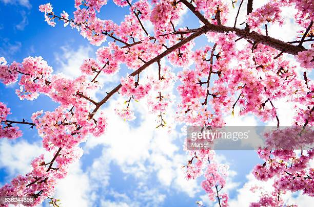 cherry blossoms by kamogawa river - cherry tree stock photos and pictures
