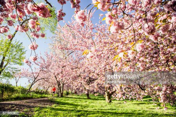 cherry blossoms, central park - central park reservoir stock pictures, royalty-free photos & images
