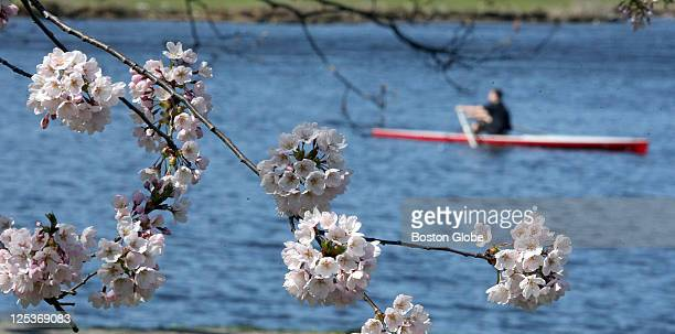Cherry blossoms frame a lone sculler on the Charles River near Harvard University as summerlike temperatures are expected in the next few days
