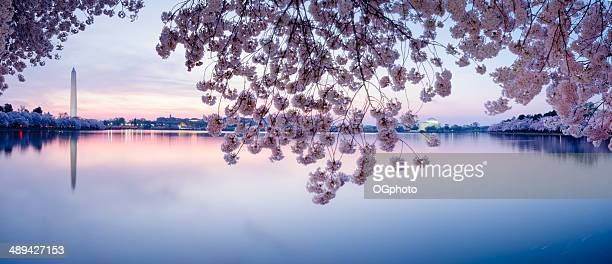 cherry blossoms frame the washington monument and jefferson memorial -xxxl - washington dc stock pictures, royalty-free photos & images