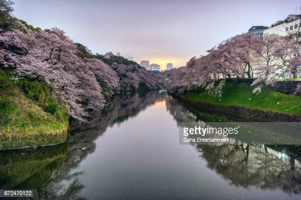 cherry blossoms from chidorigafuti at midnight - saha entertainment stock pictures, royalty-free photos & images
