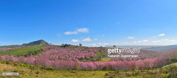 Cherry blossoms hill