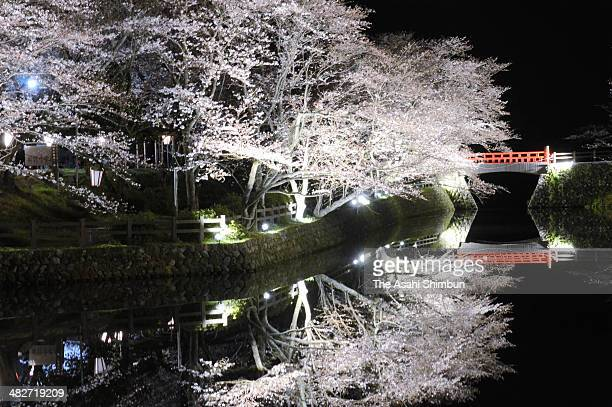 Cherry blossoms in bloom at Shikano Joseki Park on April 1 2014 in Tottori Japan