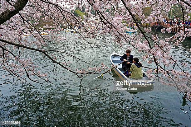 Cherry blossoms in bloom on April 9 2015 at Inokashira Park in Tokyo