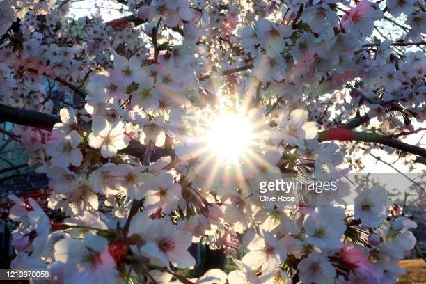 Cherry Blossom's in bloom on March 20 2020 in Tokyo Japan
