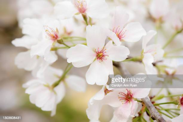 cherry blossoms in bloom - funeral stock pictures, royalty-free photos & images