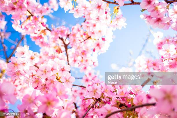 cherry blossoms in bloom - cherry tree stock photos and pictures