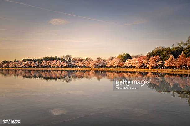 Cherry Blossoms in Bloom Washington DC Stock Photo