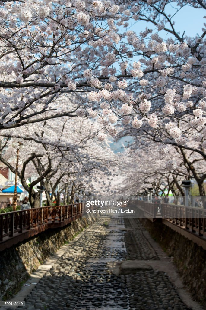 Cherry Blossoms In City : Stock Photo