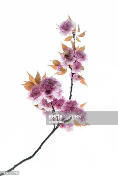 Cherry blossoms in front of white background