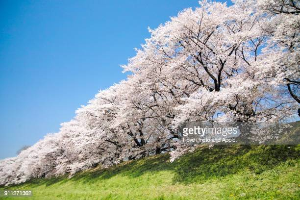 cherry blossoms in full bloom at sewari-tei - four seasons stock pictures, royalty-free photos & images