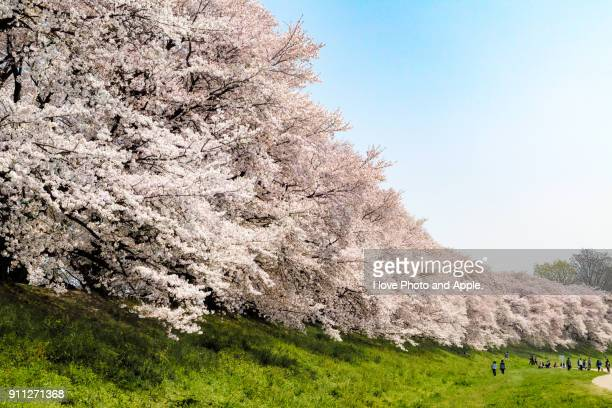 cherry blossoms in full bloom at sewari-tei - hanami stock pictures, royalty-free photos & images