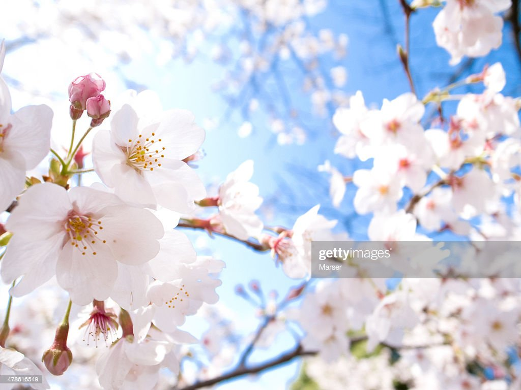 cherry blossoms in full bloom : Stock Photo