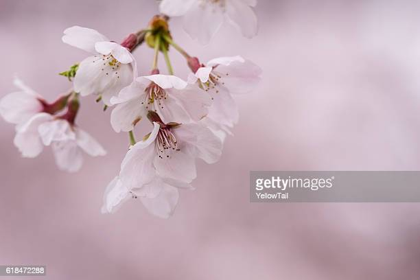 cherry blossoms in full broom with pink background - hanami stock pictures, royalty-free photos & images