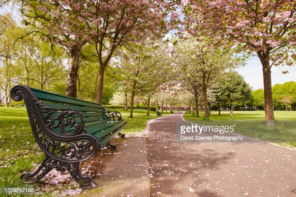 cherry blossoms in herbert park in dublin, ireland - natural parkland stock pictures, royalty-free photos & images