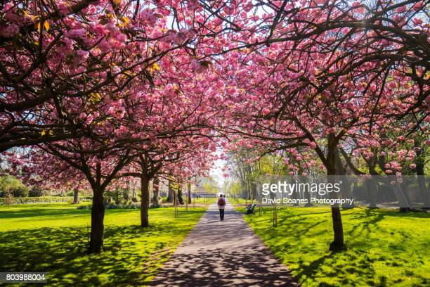 cherry blossoms in herbert park in dublin, ireland - obstbaum stock-fotos und bilder