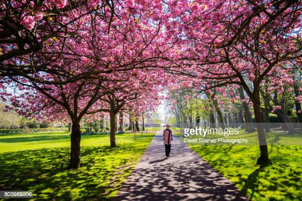 Cherry Blossoms in Herbert Park in Dublin, Ireland
