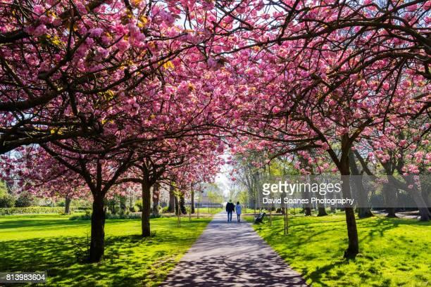 Cherry Blossoms in Herbert Park in Dublin, Ireland
