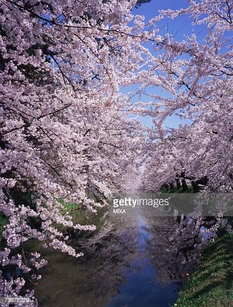 cherry blossoms in hirosaki castle - hirosaki castle stock pictures, royalty-free photos & images