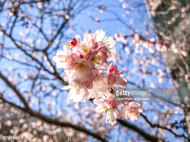 cherry blossoms in january - 一月 stock pictures, royalty-free photos & images