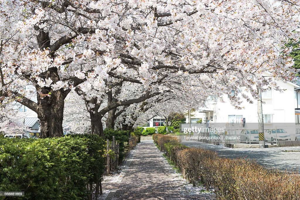 Cherry Blossoms in Japan. : Stock Photo