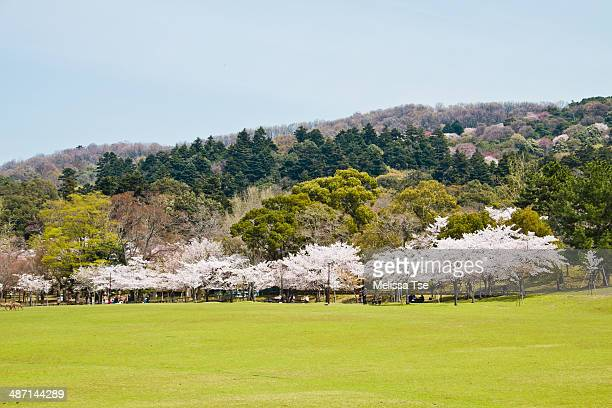 Cherry Blossoms in Nara Park