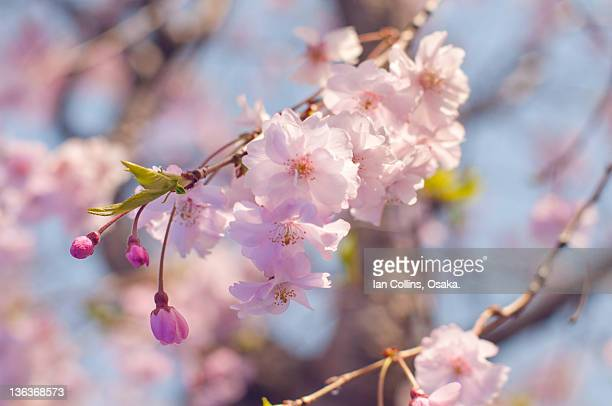 Cherry blossoms in Osaka castle park