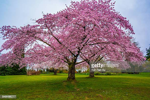 cherry blossoms in queen elizabeth park, vancouver - blossom stock pictures, royalty-free photos & images