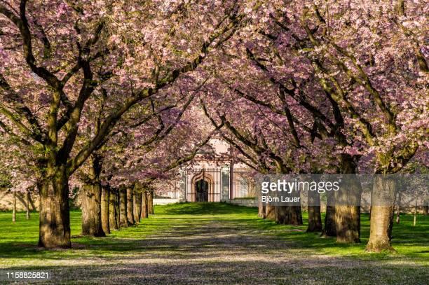 cherry blossoms in schwetzingen castle garden - schwetzingen castle garden stock pictures, royalty-free photos & images