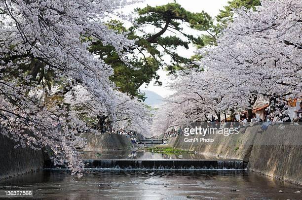 cherry blossoms in shukugawa - 西宮市 ストックフォトと画像