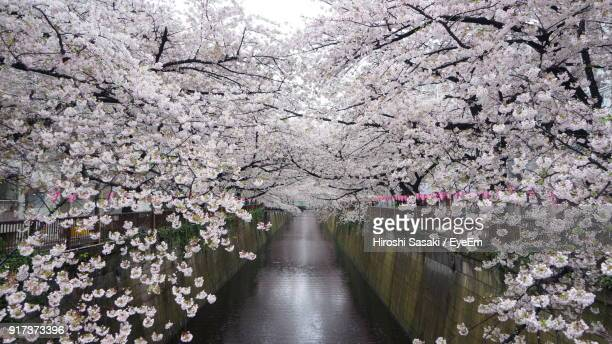 cherry blossoms in spring - apple blossom tree stock pictures, royalty-free photos & images