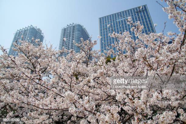 Cherry blossoms in the city