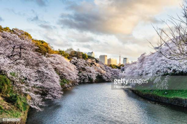 Cherry Blossoms in Tokyo with Tokyo Tower on background