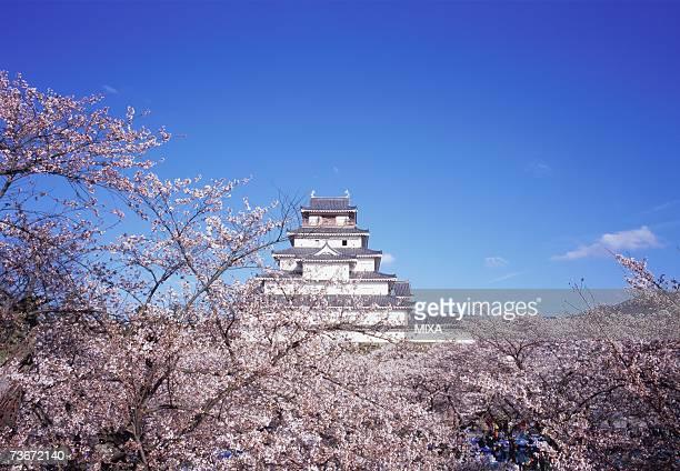 Cherry blossoms in Tsurugajo Castle, Fukushima Prefecture, Japan