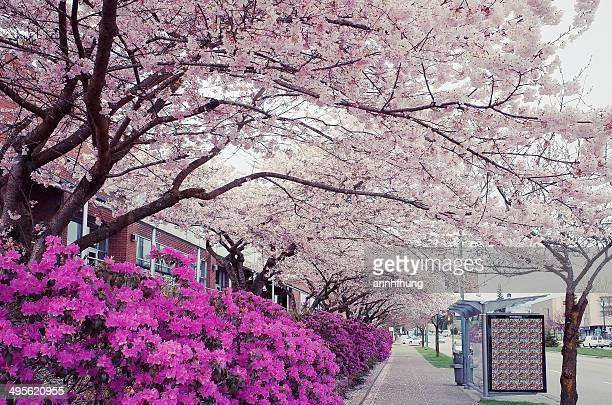 Cherry Blossoms in Vancouver.