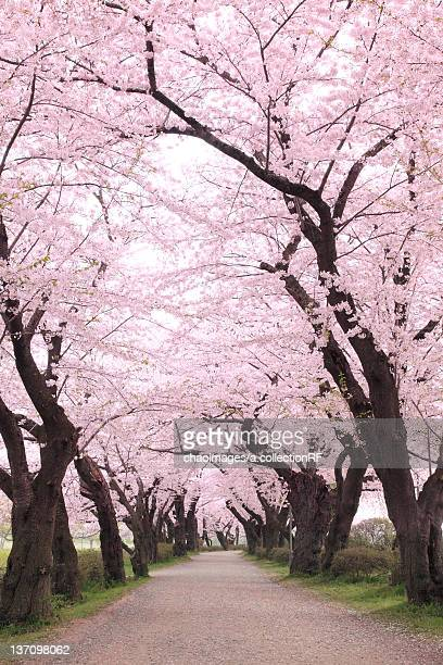 Cherry blossoms, Iwate Prefecture, Japan